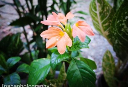 flower oren